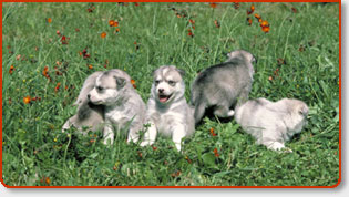 Many Dog Breeds Available By Dog Breeders in Orange County Los