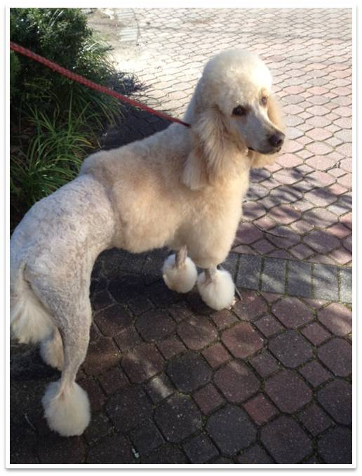 Doggie doos online school of grooming distance learning a complete in depth online dog grooming course developed by a master groomer of 28 years learn to groom like a professional from a professional i will solutioingenieria Choice Image