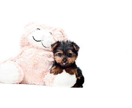Cute Puppies For Sale In Washington DC Area, Virginia And