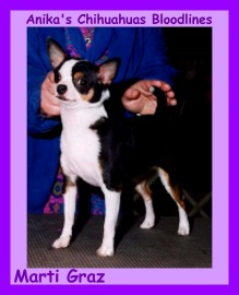 Chihuahua Dog Breeders Directory: Chihuahua Dogs For Sale
