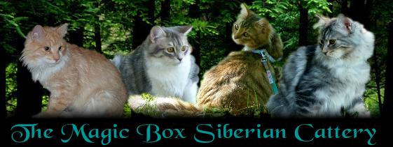 Hypoallergenic Siberian Kittens For Sale In Arkansas
