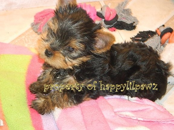 Yorkie Puppies for Sale/Yorkshire Terrier Puppies for sale/