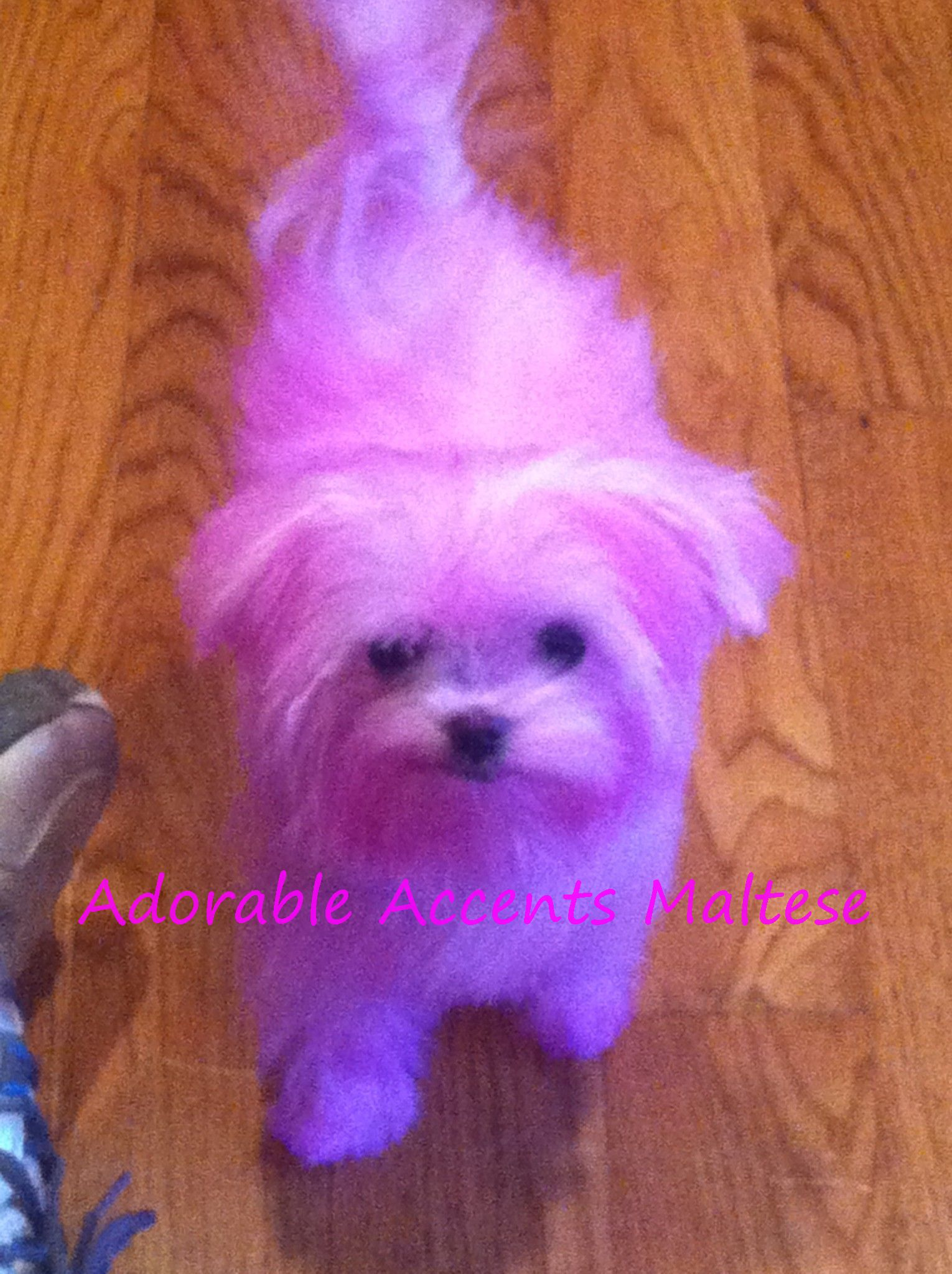 Adorable Accents Maltese Puppies For Sale New Jersey AKC